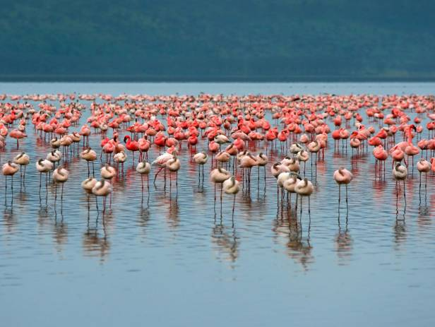 Rhino standing in front of a flock of flamingos at a water hole at Lake Nakuru