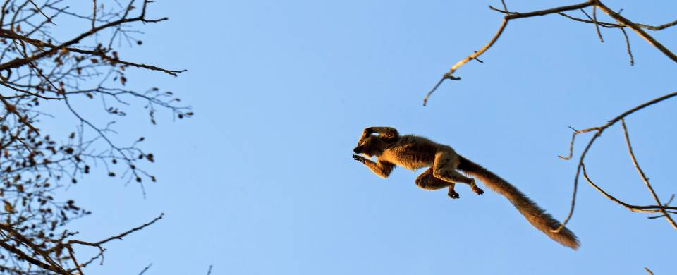 Lemur leaping from tree to tree in the Kirindy National Park