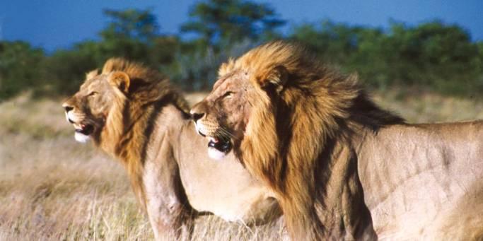 Lions | Kruger National Park | South Africa