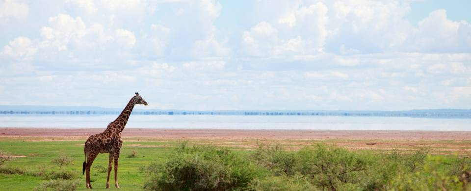 Giraffe in front of the lake at the Lake Manyara National Park