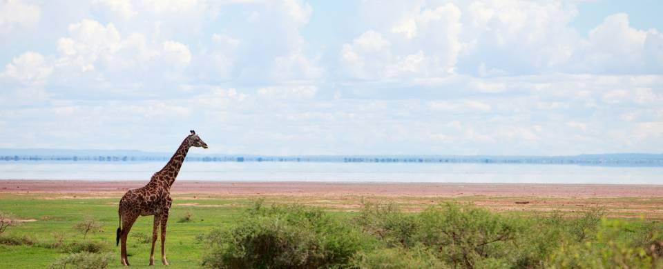 Giraffe in front of the lake at the Lake Manyara National Park