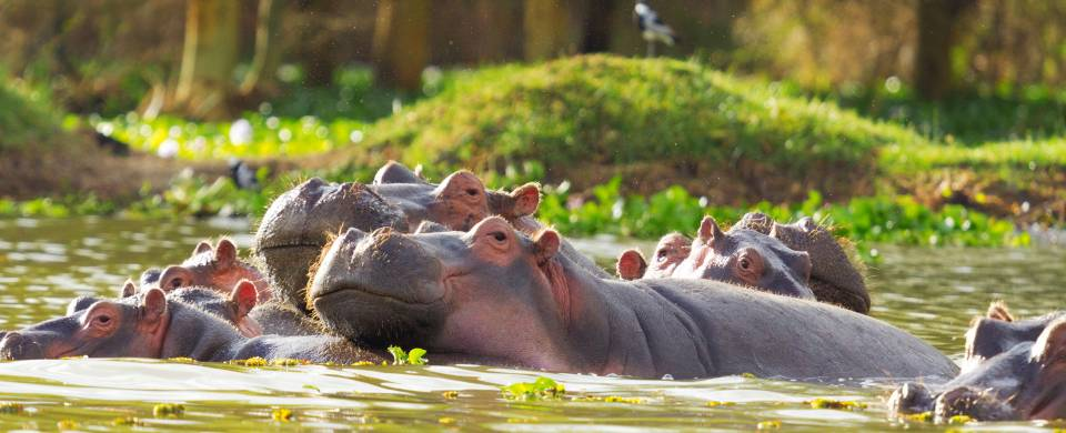 Hippos in the water at Lake Naivasha