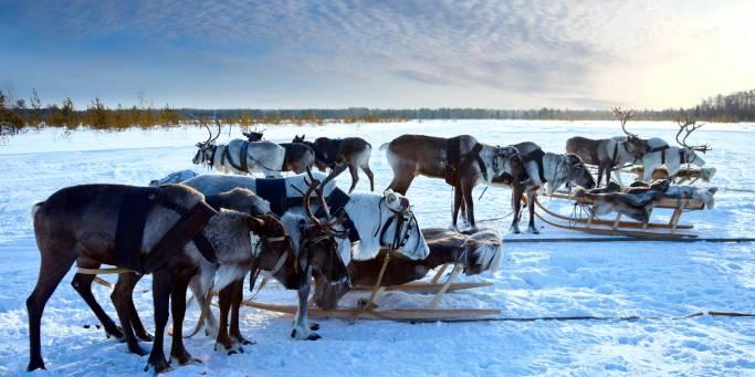 Reindeer | Lapland