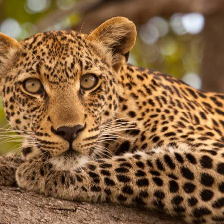 Leopard - Africa Overland Safaris - Africa Lodge Safaris - Africa Tours - On The Go Tours