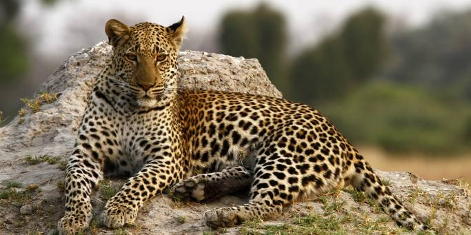 Leopard - Botswana - On The Go Tours