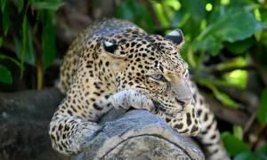 Leopard in Yala - Sri Lanka Tours - On The Go Tours