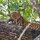 Leopard | Yala NP | Sri Lanka