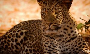 Leopard-in-the-shade