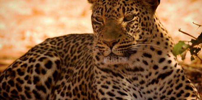 Leopard in the shade | Africa