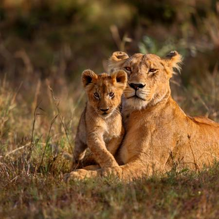 Lioness and Cub - Africa Overland Safaris - Africa Lodge Safaris - Africa Tours - On The Go Tours