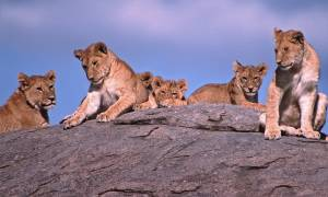 Lions in Tanzania - On The Go Tours
