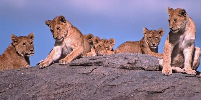 Lions Resting | Tanzania | On The Go Tours