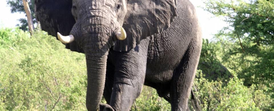 Muddy elephant at Livingstone