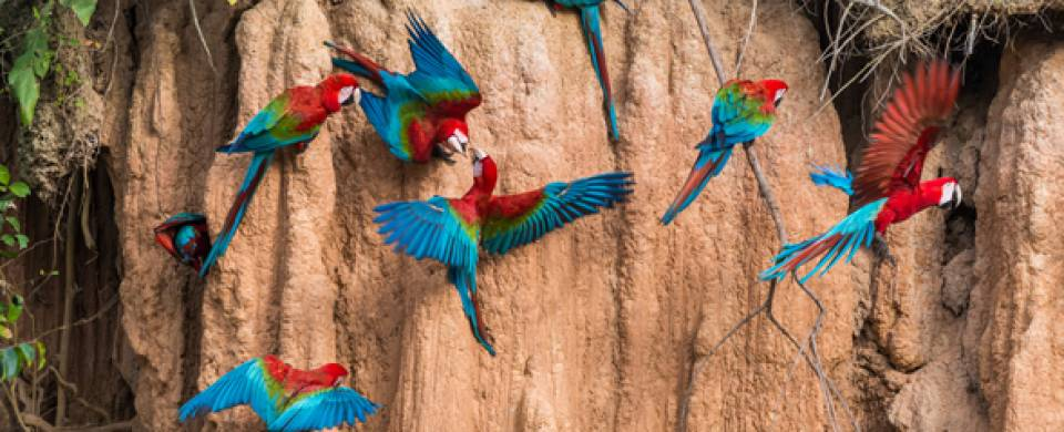 Macaw birds at a lick in the Peruvian Amazon