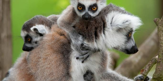 Ring tailed lemurs | Madagascar