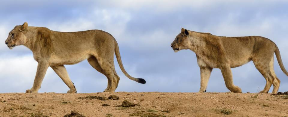 Two lionesses walking in a line in Madikwe Game Reserve