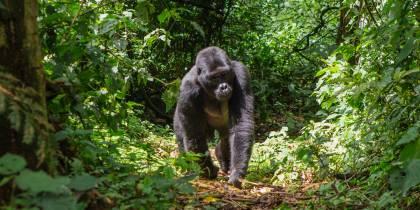 Male gorilla walking through forest