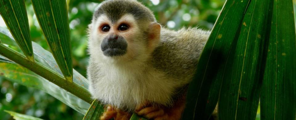 Squirrel monkey hiding in a tree near the Manuel Antonio Village