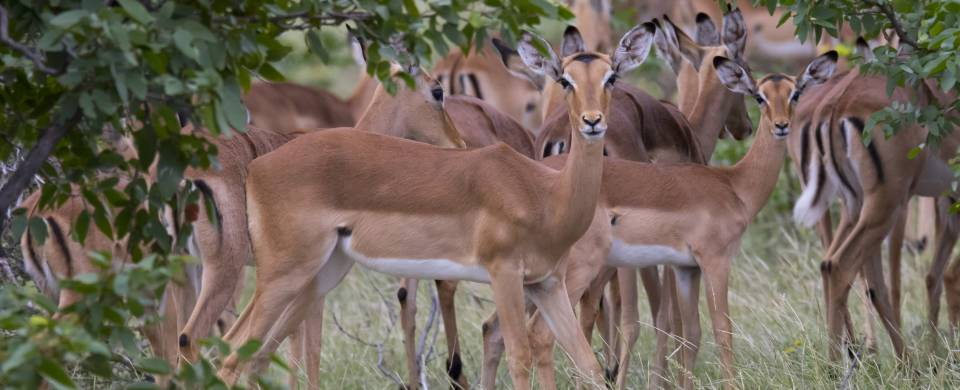 Group of deer looking at the camera in the Mashatu Game Reserve