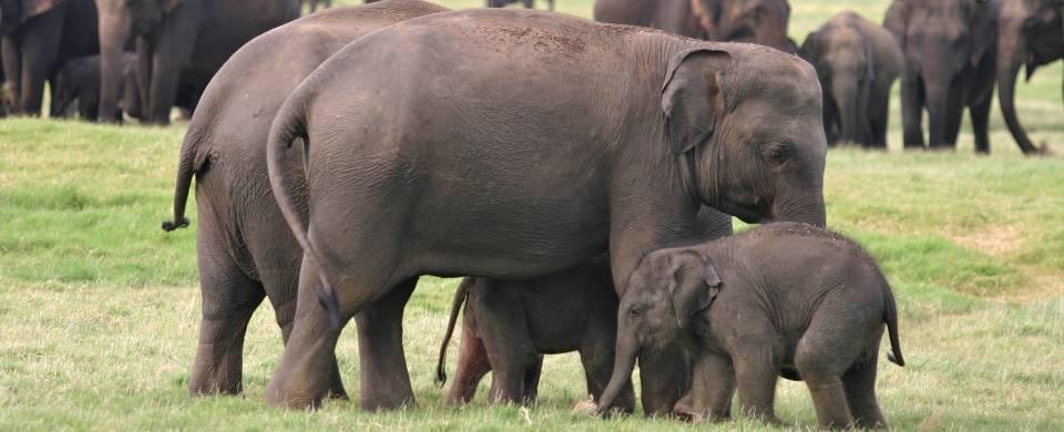 Elephants near the tank in the Minneriya National Park