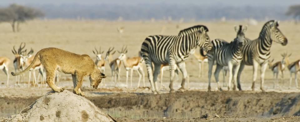 Lion and zebra in the Mkgadikgadi and Nxai pan