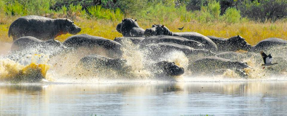 Hippose by the water at the Moremi Game Reserve