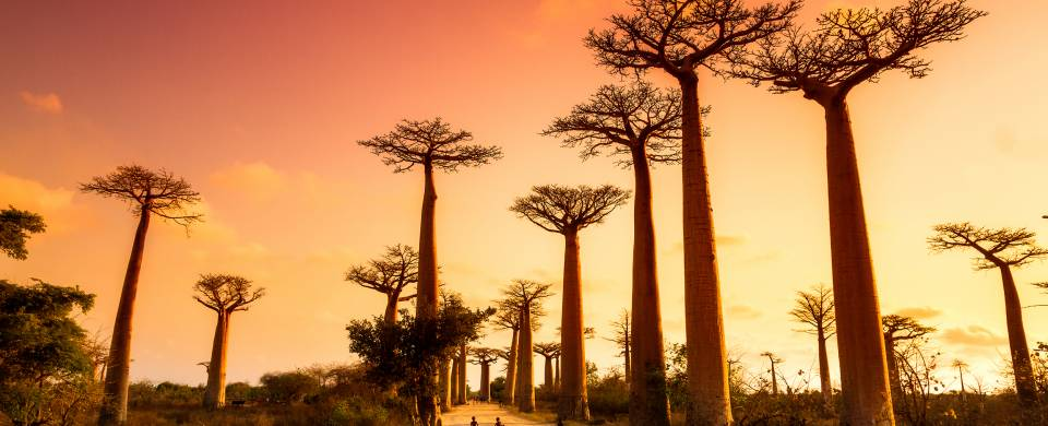 Stunning sunset painting the sky pink and orange behing the baobabs in Morondava