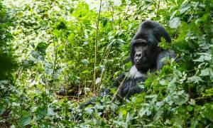 Mountain-Gorilla-in-Uganda-Africa