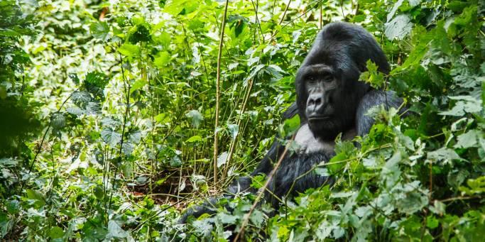 Mountain Gorilla | Uganda | Africa