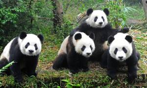 New China tour (Beijing to Chengdu) main image - pandas