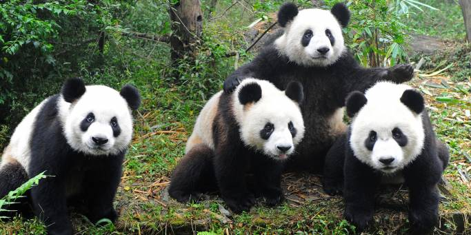Group of Pandas | Chengdu | China