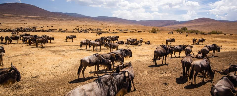 Hundreds of wildebeests on the savannah plains of Ngorongoro Crater