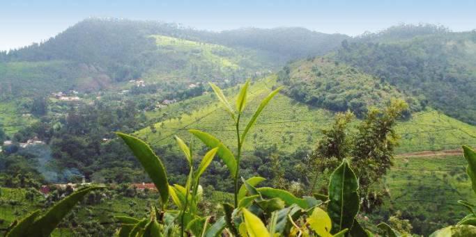 Tea plantatino | Nilgiri Hills | India