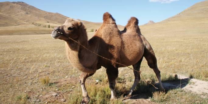 Camel in Mongolia | Trans-siberian Railway |  Mongolia