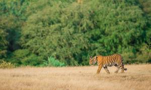North India Family Adventure main image - Tiger in Ranthambore