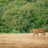 Lone tiger in Ranthambore National Park