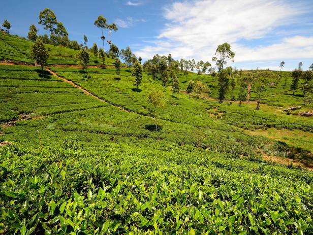 The rolling tea plantation hills of Nuwara Eliya