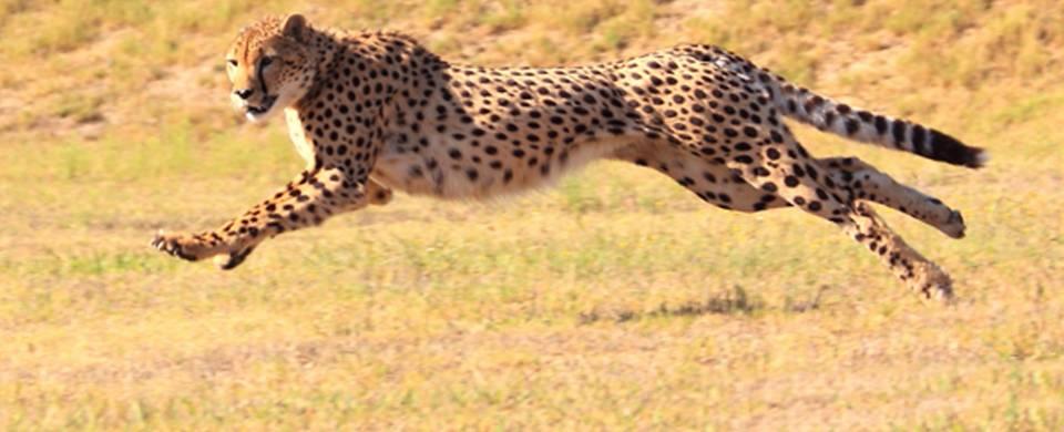 Cheetah leaping across the dry savannah in Okonjima