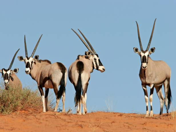 Gemsbok standing at a water hole at Etosha National Park