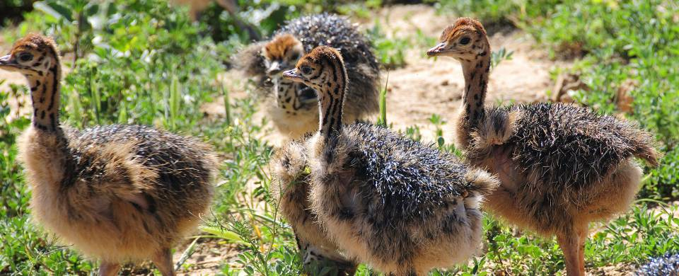 Baby ostriches walking together in Oudtshoorn