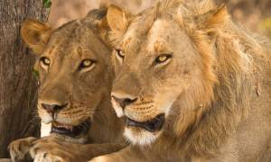 Pair-of-lions-resting