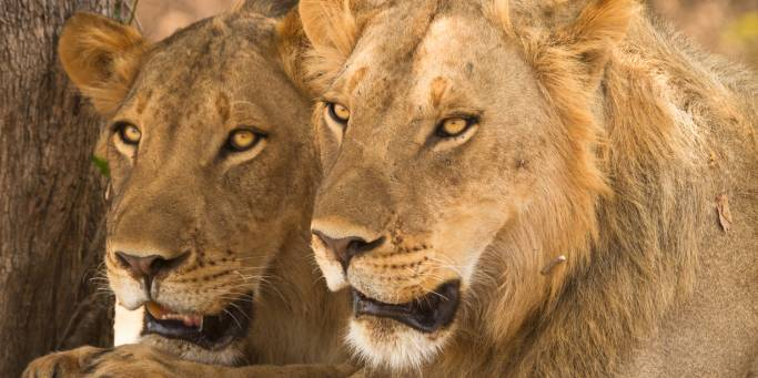 Lions in Samburu National Park | Kenya | Africa