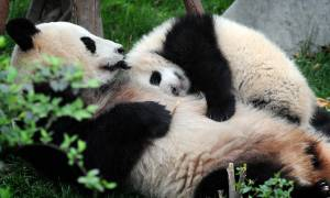 Pandas-China Tours-On The Go Tours