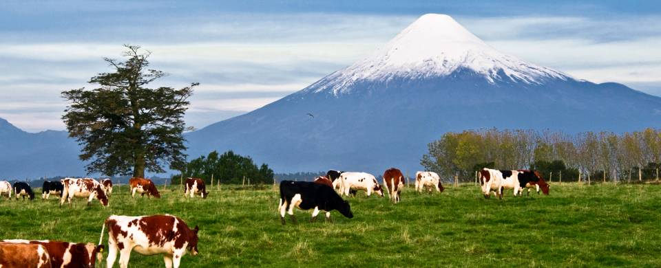 Cows grazing in the lofty Puerto Montt, in front of a snow-capped mountain