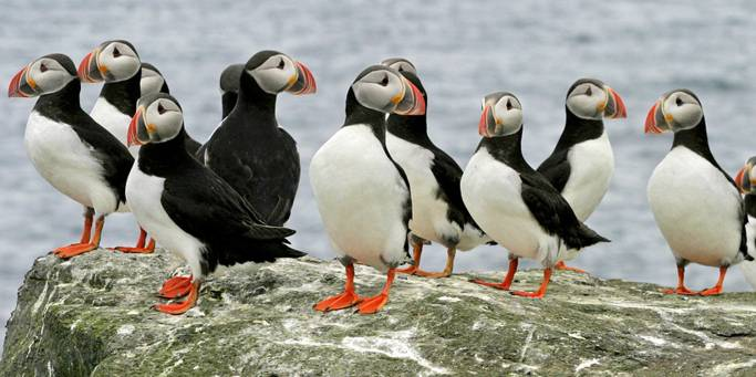 Puffin Watching in Iceland