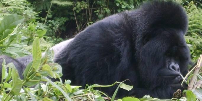 Gorilla | Uganda & Rwanda | Africa