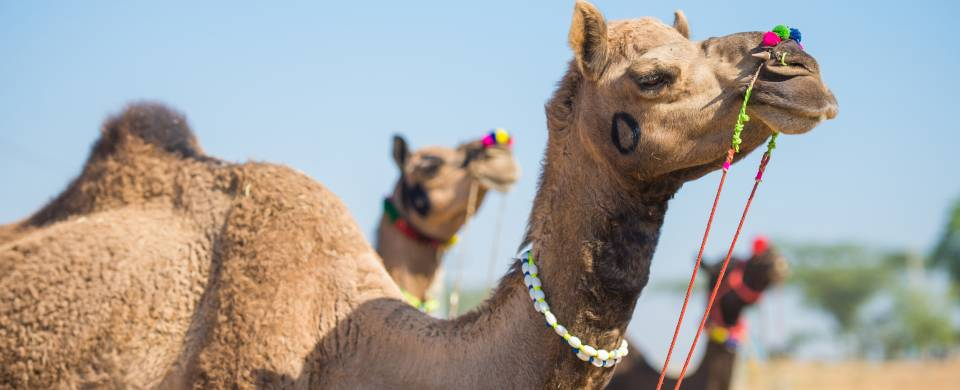 Camels at the Pushkar Camel Fair