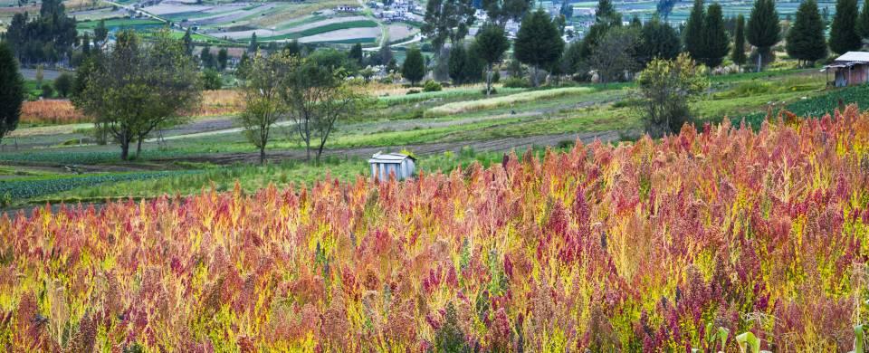 Colourful Quinoa plantation in Riobamba