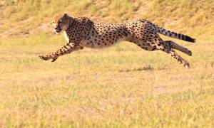 Running Cheetah - Africa Overland Safaris - Africa Lodge Safaris - Africa Tours - On The Go Tours