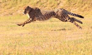 Running Cheetah - Africa Overland Safaris - Africa Lodge Safaris - Africa Tours - On The Go Tours